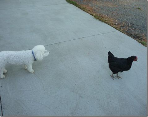 chicks 036