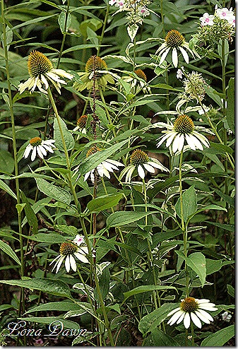 Echinacea_LuckyStar_July29