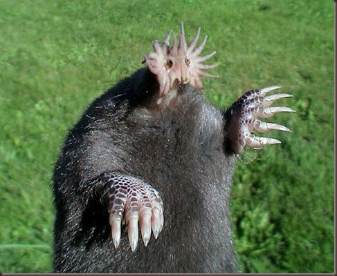 Amazing Animal Pictures Star Nosed Mole (4)