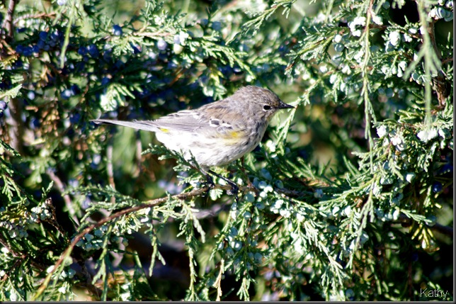 Yellow-rump Warbler in Juniper