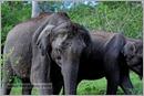 _P6A1738_wild_elephants_mudumalai_bandipur_sanctuary