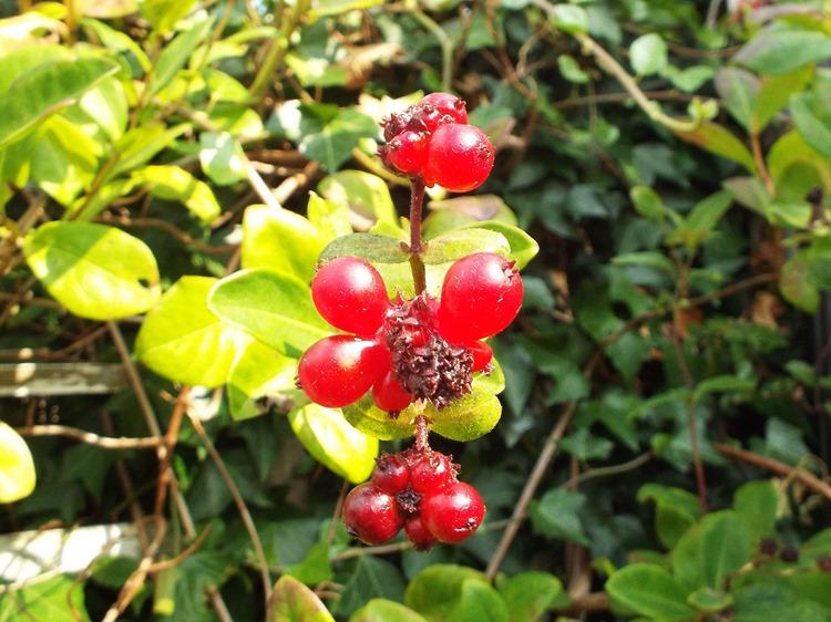 honey suckle berries