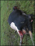 Tsitsikamma cattle mutilations 2 Apr72012 Bakkes farm