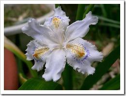 800px-Iris_japonica1_flower