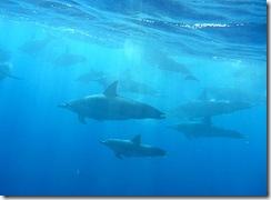 ハワイ島イルカスイム