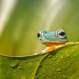 Sun shower by Dikky Oesin - Animals Amphibians ( frog, green, amphibian, leaf, eyes )
