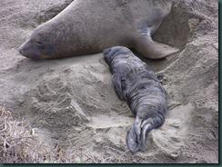 Elephant Seals 2012 002