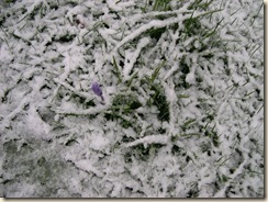 late snow; late crocus