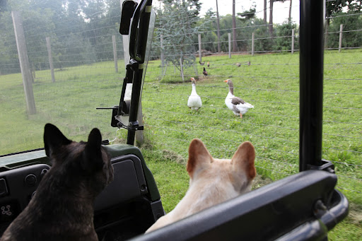 And not to mention, geese!  Hey, Pomeranians!  We Frenchies want you to take really good care of the guinea fowl, okay?  They need to grow strong so that they can eat all the ticks on the property to keep us healthy!
