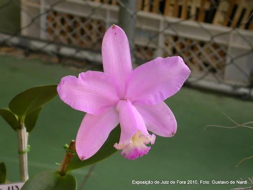Cattleya loddigesii var. tipo