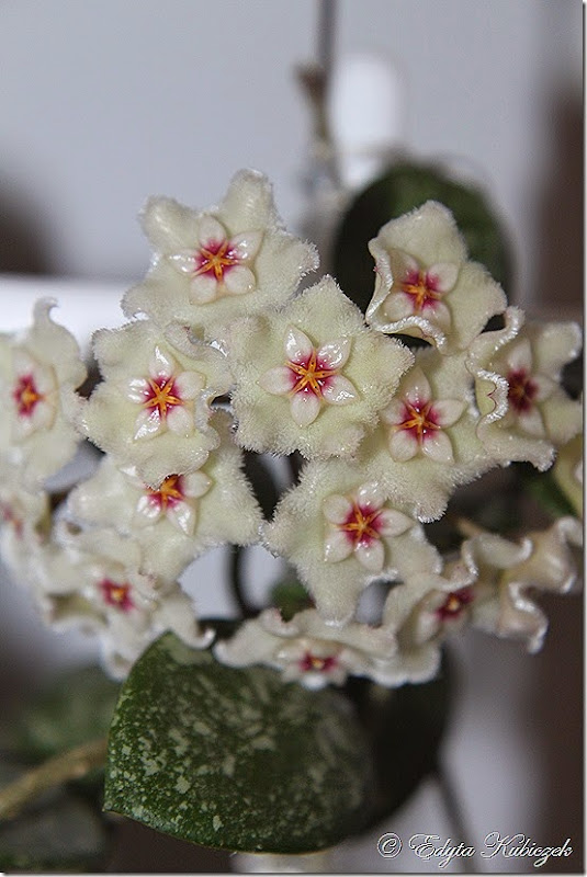 Hoya Mathilde splash