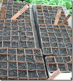 Brocolli, parsnip and chinese cabbage seedlings just planted into fibre pots in mid-winter