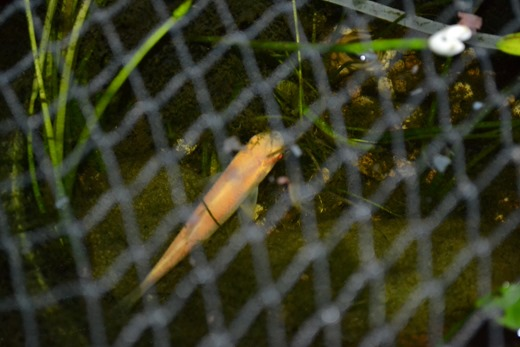 Albino grass carp - pictured at night