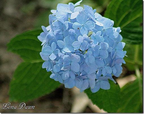 Blueberry_Parfait_Hydrangea