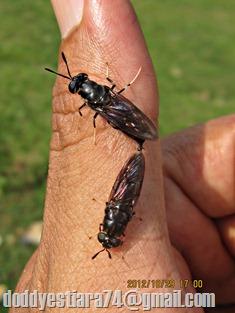 Lalat Tentara Hermetia illucens Kawin