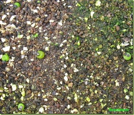Ariocarpus furfuraceus Matehuala - SLP-2011-02-04_00015IMG_5366