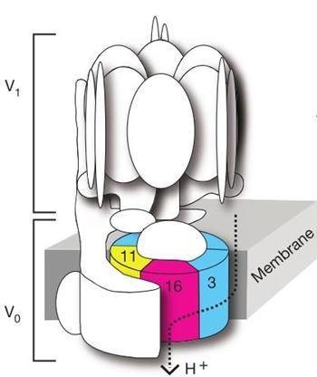 V_ATPase