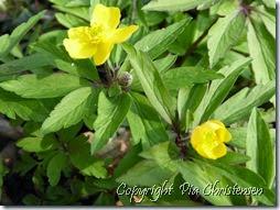 Den gule anemone