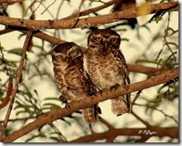033 Owl ( Ghoowad ).