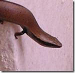 Plestiodon brevirostris