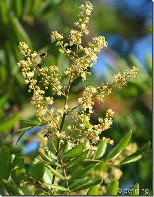 Dimocarpus longan ssp. longan