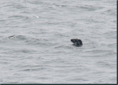 66-grey-seal