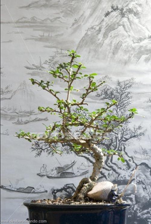 bonsais arvores em miniatura desbaratinando (64)