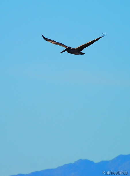 10. brown pelican-kab