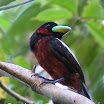 Black-and-Red Broadbill.jpg