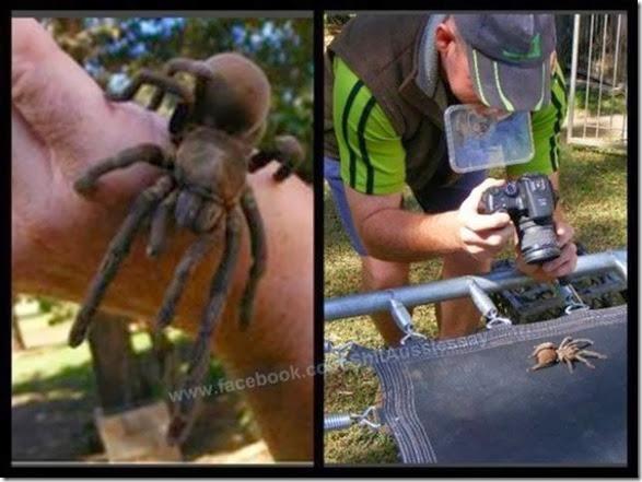 australia-scary-spiders-013