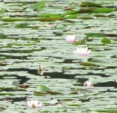 pond lilies pink at dad's bog1