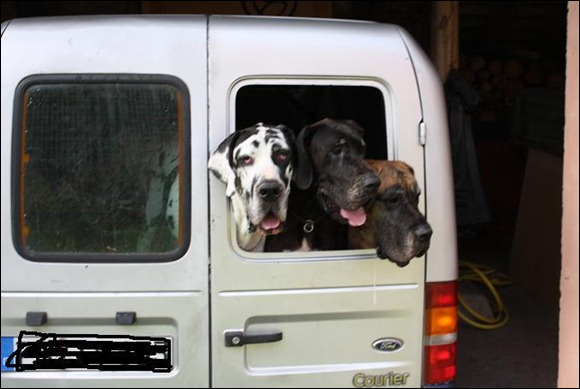 3 great danes ready to travel