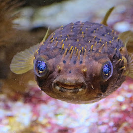 Blue Eye Puffer by Leah N - Animals Fish