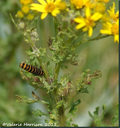 9-cinnabar-on-ragwort