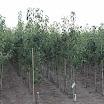 Perenbomen in kwekerij vanMontfort AV2013_09_06_02.JPG
