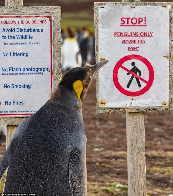 falkland-penguins-minefield-3