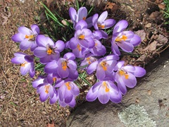 crocus 3.13 near koi pond