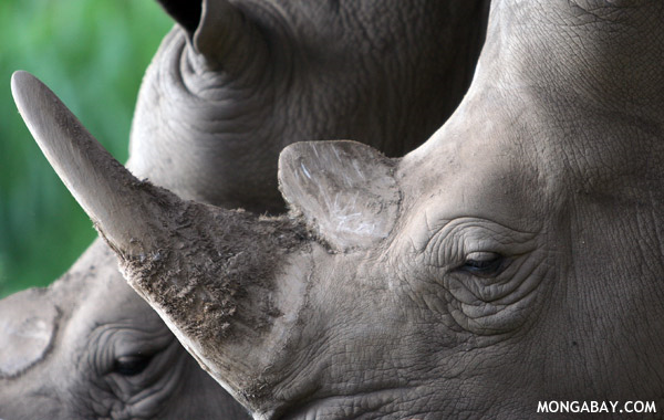 Poachers have likely killed off the last rhinos in Mozambique's Limpopo National Park. Park rangers are among the poachers. Photo: mongabay.com
