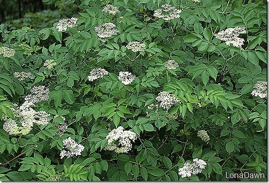 Elderberry_Blooms