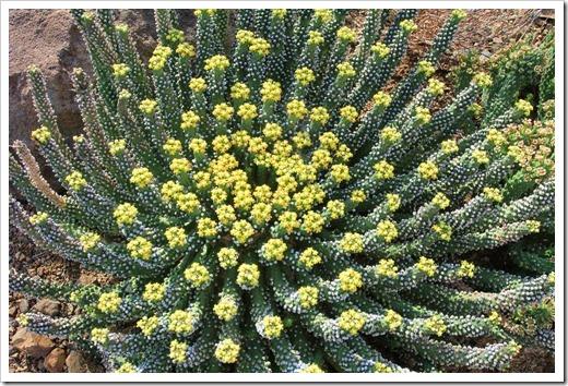 130413_RBG_Euphorbia-inermis-huttonae_04
