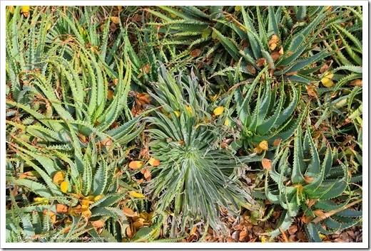 141123_UCDA_Aloe-spinosissima- -Echium-wildpretii_001