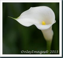 white calla lily12 0607