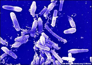 bacillus sp
