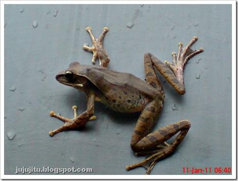 Polypedates leucomystax_Katak Pohon Bergaris_Stripped Tree Frog 8