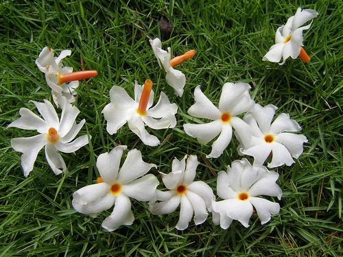 parijaat-flower