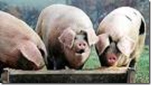 pigs in troughs