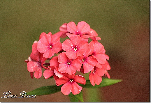 Phlox_Orange_Perfection2