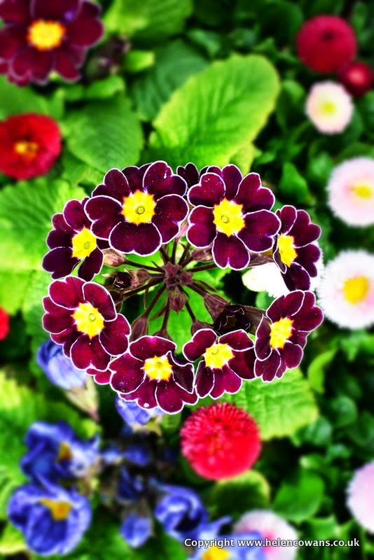1 ring of primula