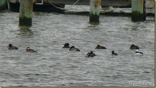 Tufted duck hunt_002