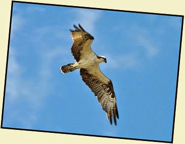 03 - Osprey